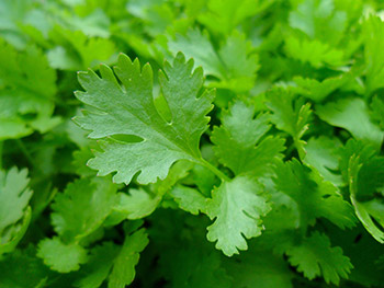 Parsley is an excellent source of vitamins A, C, and K, and a good source of folate and iron. Parsley can be grown in a container garden or home garden.