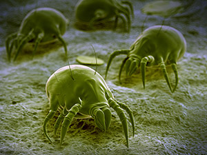 Dust mites. These little bugs live in higher humidity areas in the home, most likely the places that are most lived in, like the bedroom or living room.