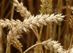 Wheat is a member of the grass, or Poaceae botanical family, which comprises many different grains.